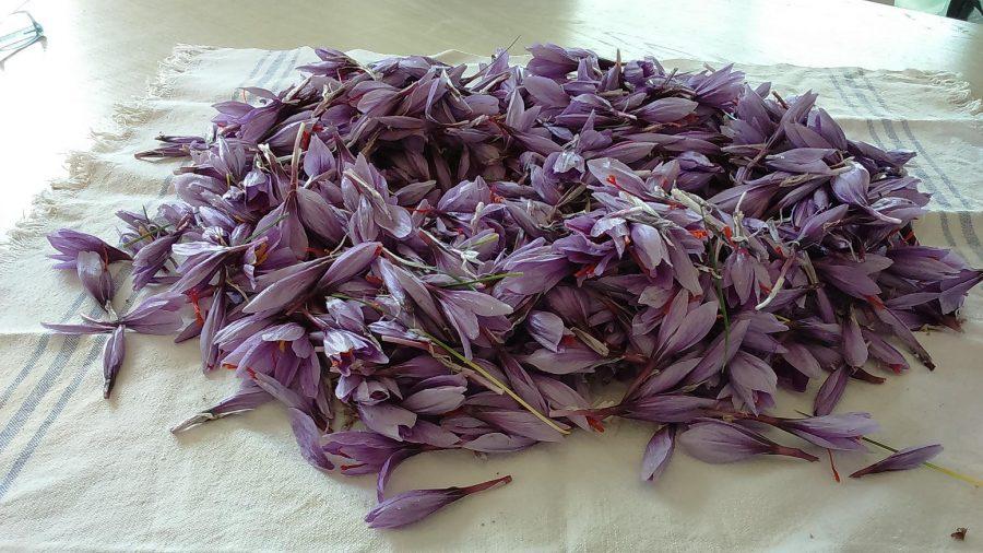 Raccolta di fiori di zafferano (ph. Ivan Masciovecchio)