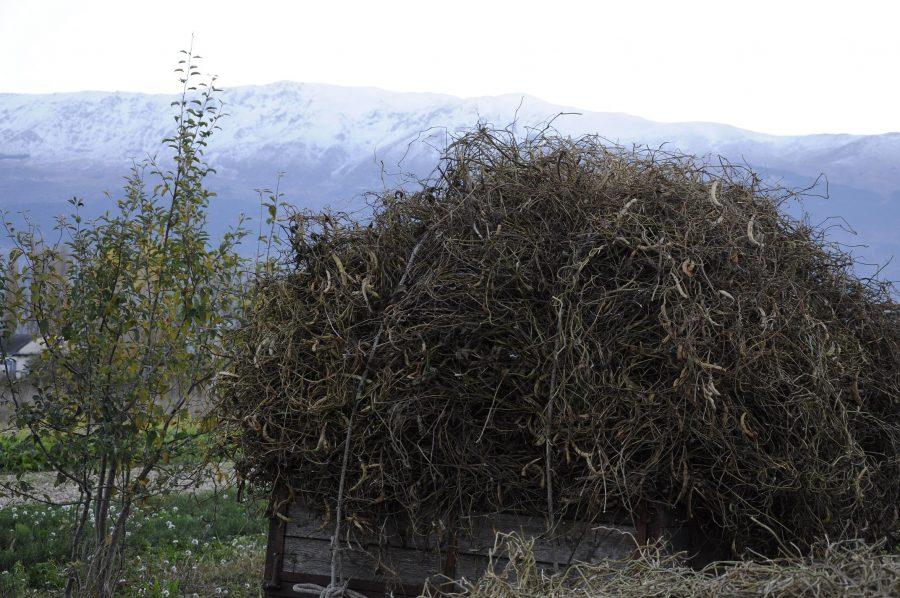 Raccolti nei campi, i fagioli vengono portati in azienda per essere lavorati