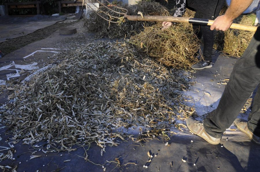 Fatti asciugare a terra, vengono battuti con il forcone per separare il seme dal baccello
