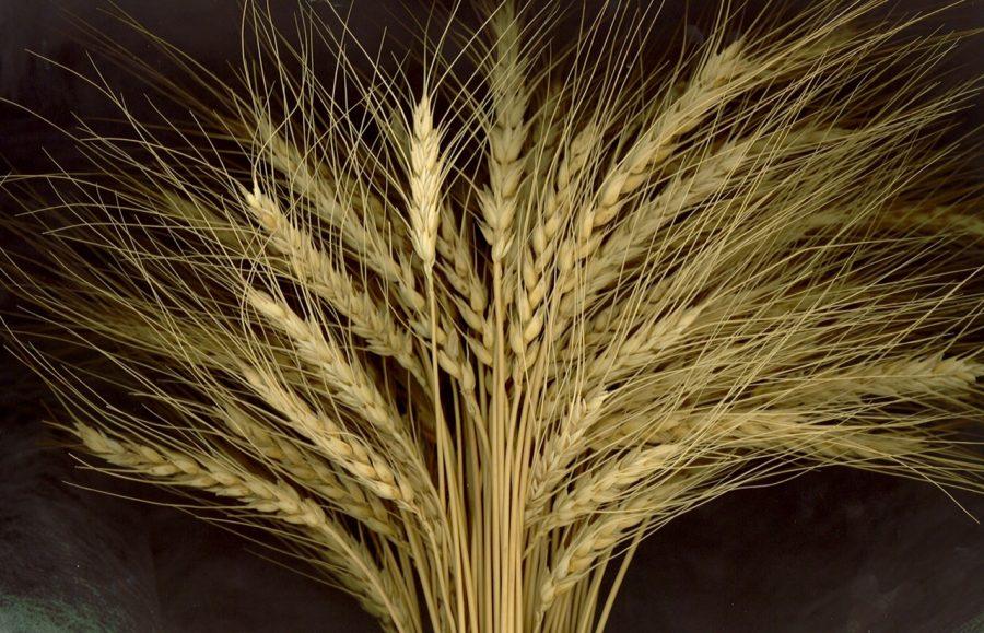 Spiga di grano Solina d'Abruzzo