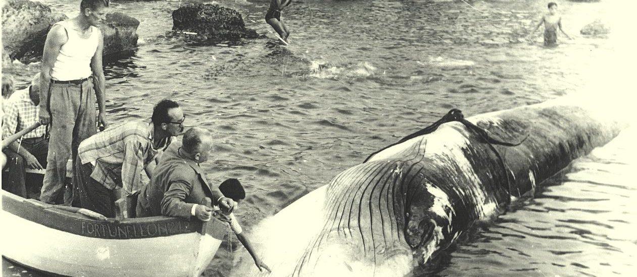 Operazioni di recupero della balena (foto per gentile concessione di Rinaldo e Pietro Verì)