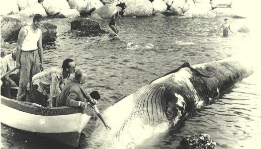 La balena sulla Costa dei Trabocchi, una storia abruzzese di sessant'anni fa