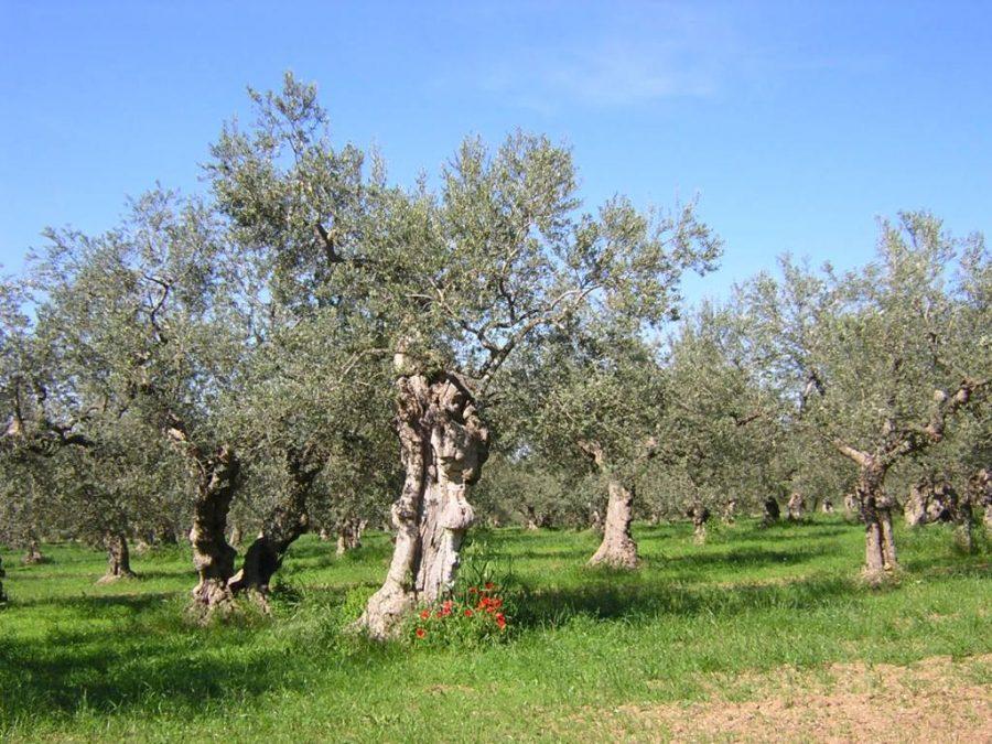 Uliveto nella campagna di Tocco da Casauria (ph. sito Camminata tra gli olivi)