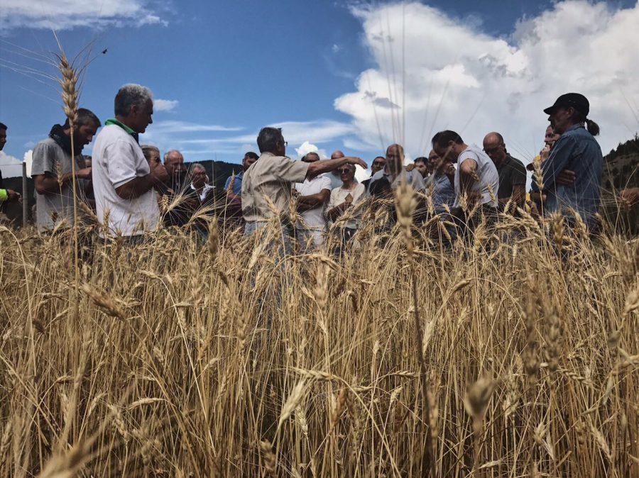 Campo di grano Solina