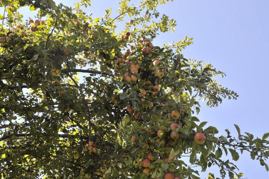 Albero di mele rosa (ph. Ivan Masciovecchio)
