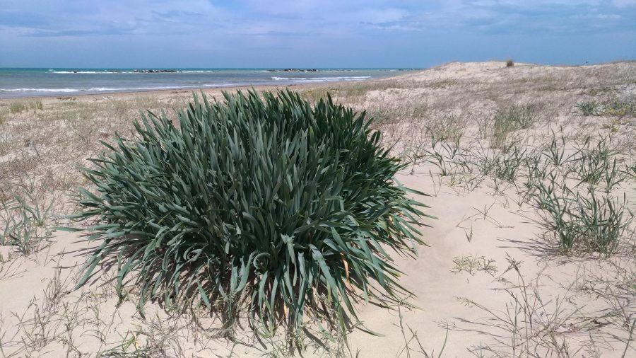 Giglio di Mare sulla spiaggia di Ortona nei pressi della stazione ferroviaria di Tollo (ph. TU.Vi.V.A.)